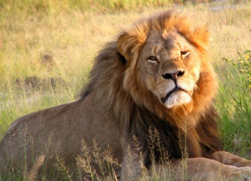 Cecil løve