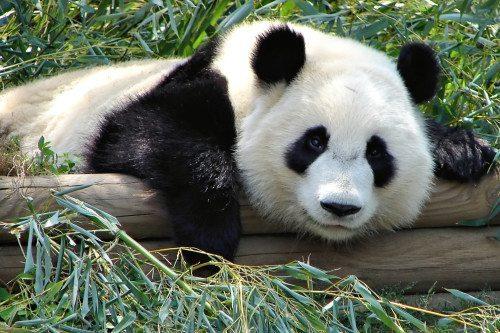 panda dyr zoo