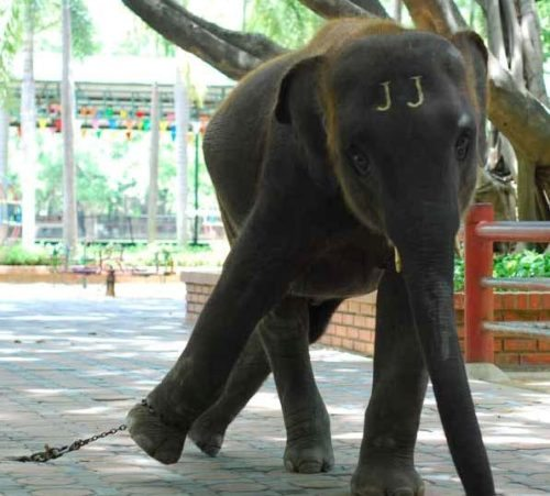 elefant-i-fangeskab